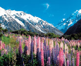New Zealand lupines